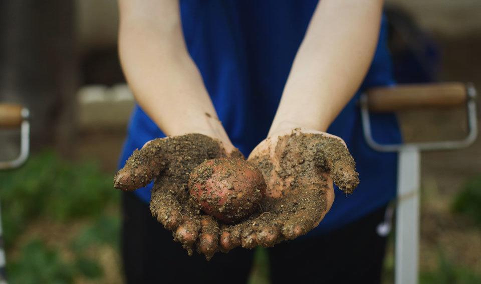 Participant d'un hort escolar mostra una patata ecològica recent collida